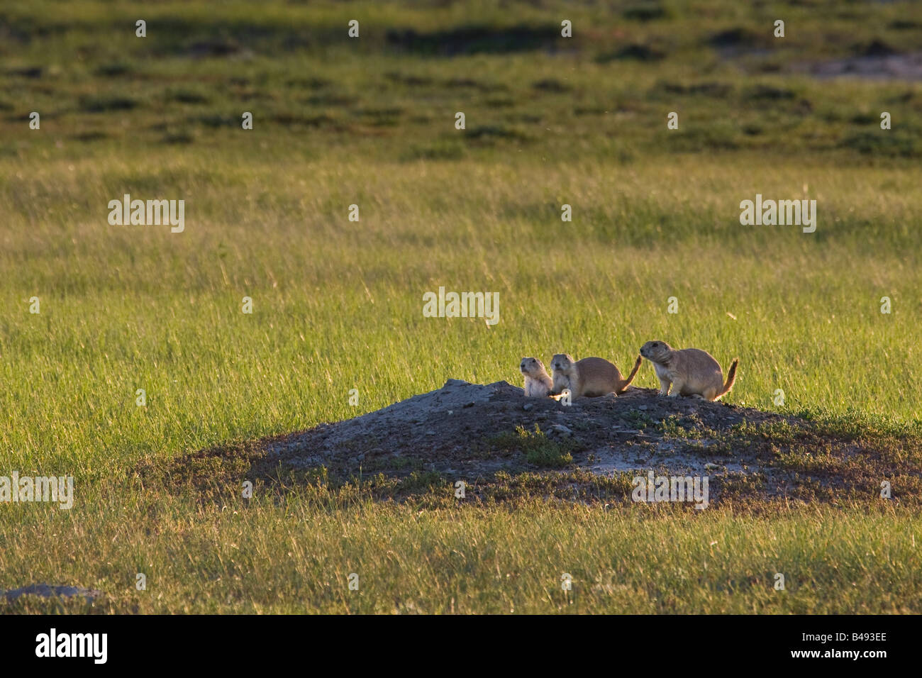 Black-tailed Prairie Dogs, in Dog Town along the Frenchman River Valley Ecotour Route in the West Block - Stock Image