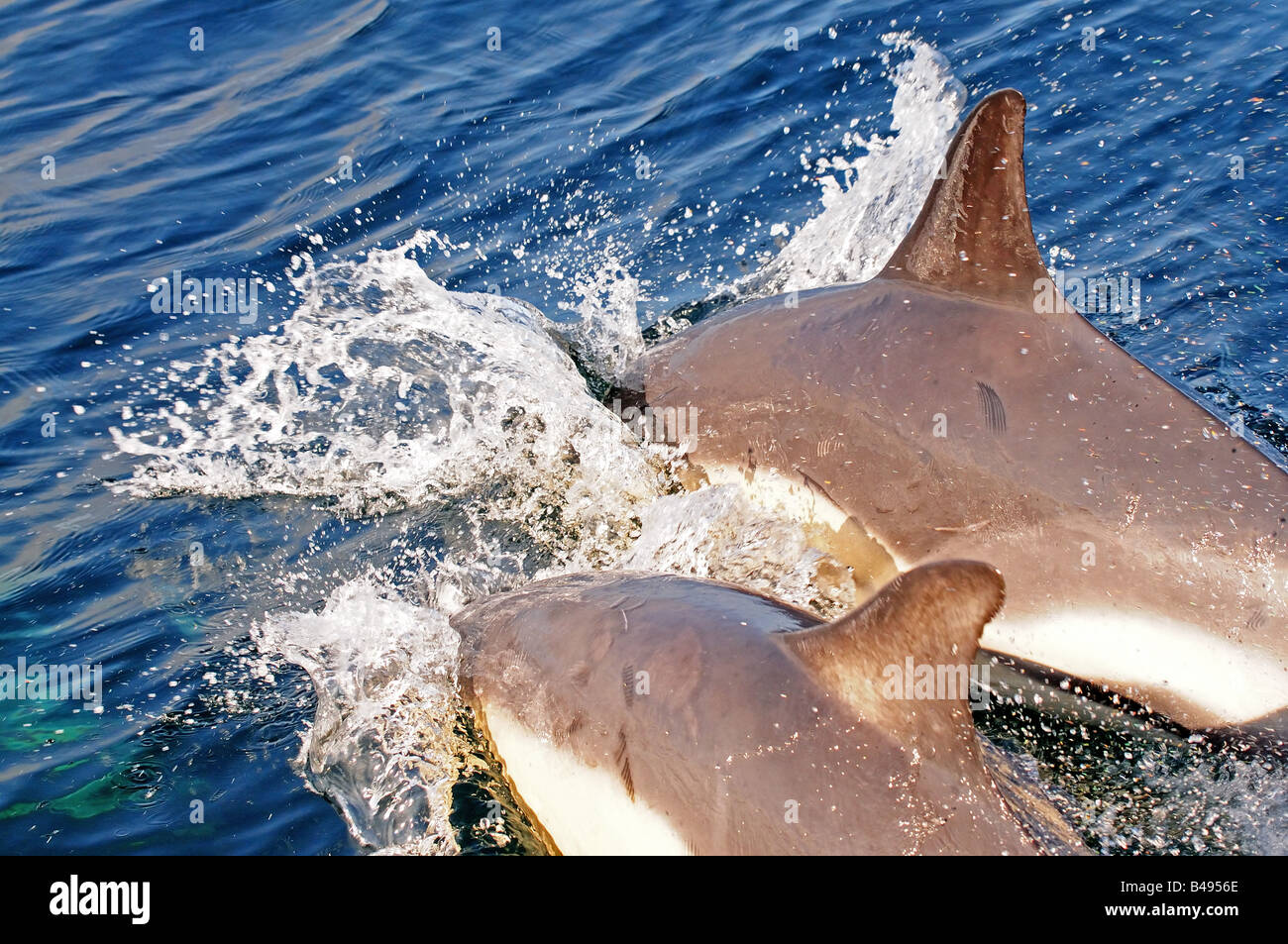 common dolphin delphinus delphis in european waters on the surface - Stock Image