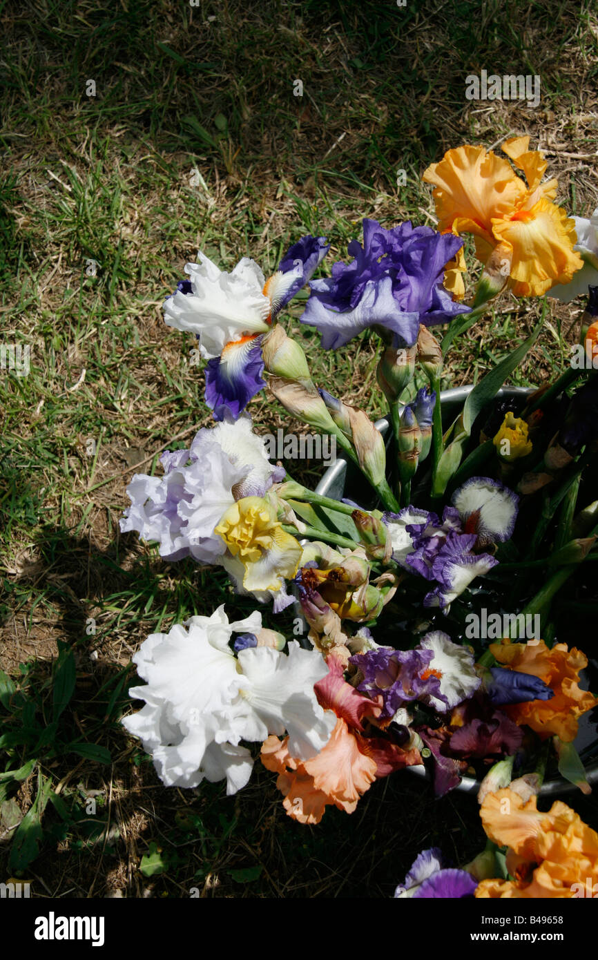 Selection Of Iris Flowers In Plant Pot In Garden   Stock Image