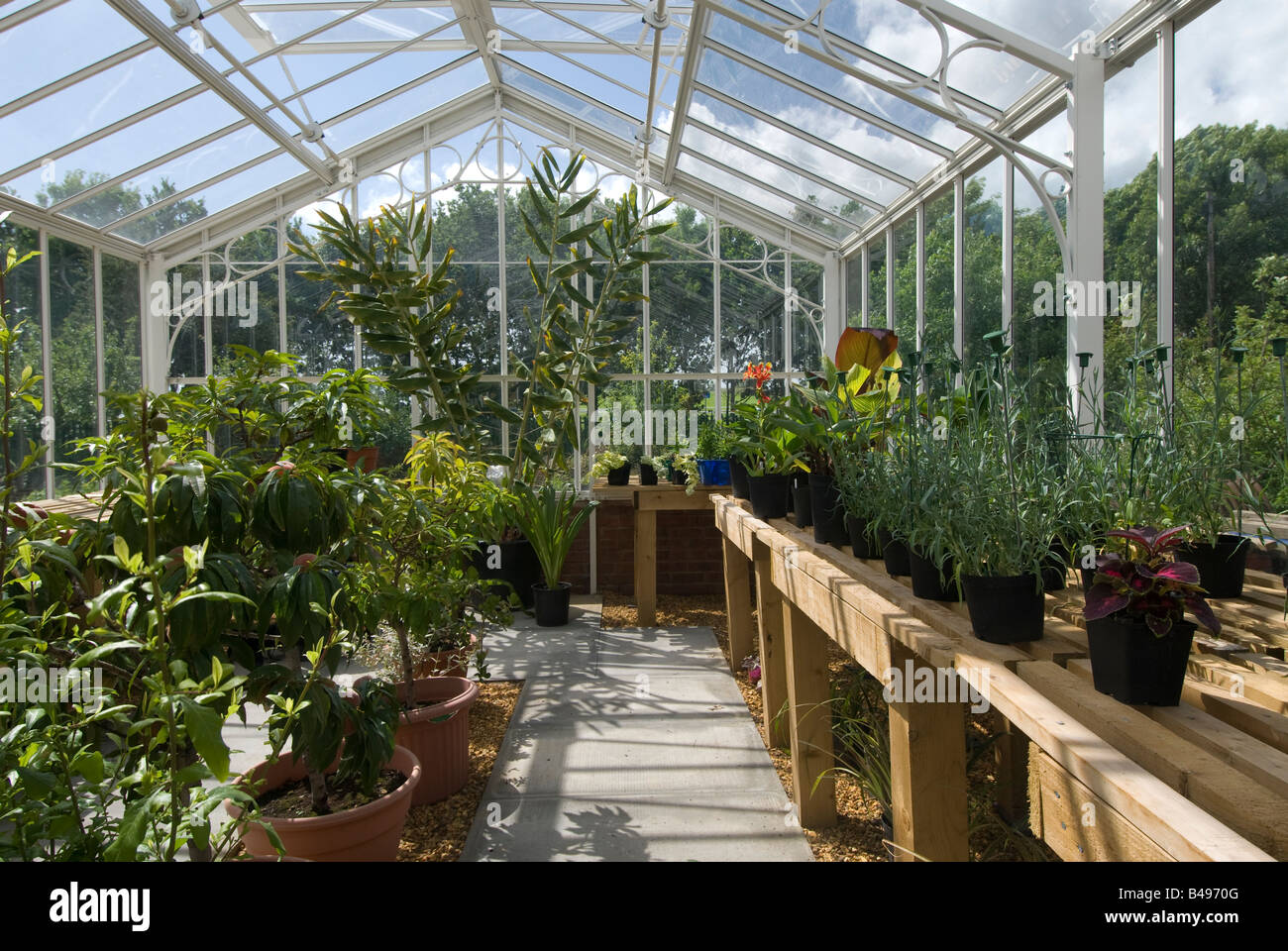 Pot plants on timber benches in a greenhouse at Hill Close Victorian gardens. Warwick. UK. - Stock Image