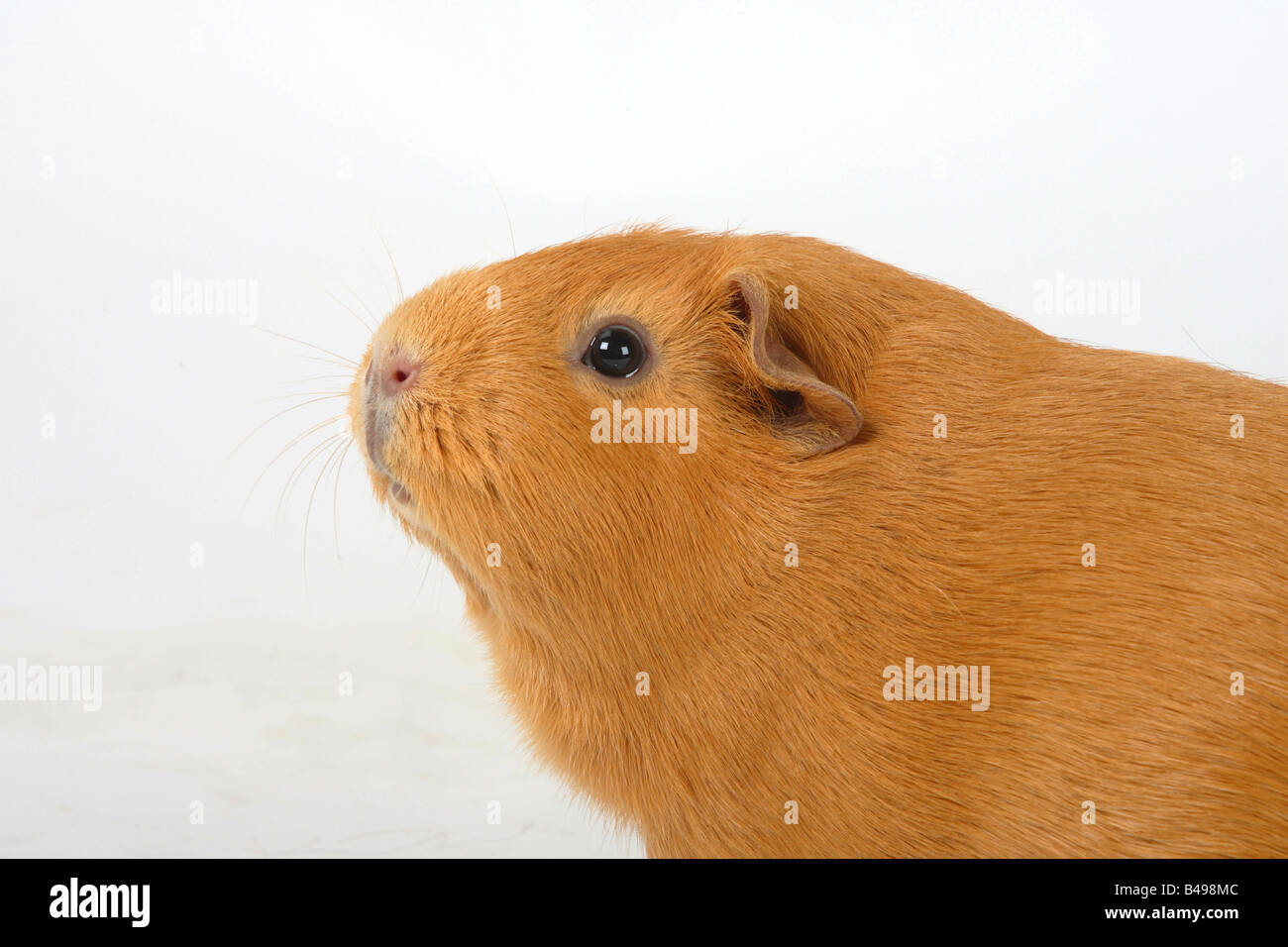 Englisch Guinea Pig side profile - Stock Image