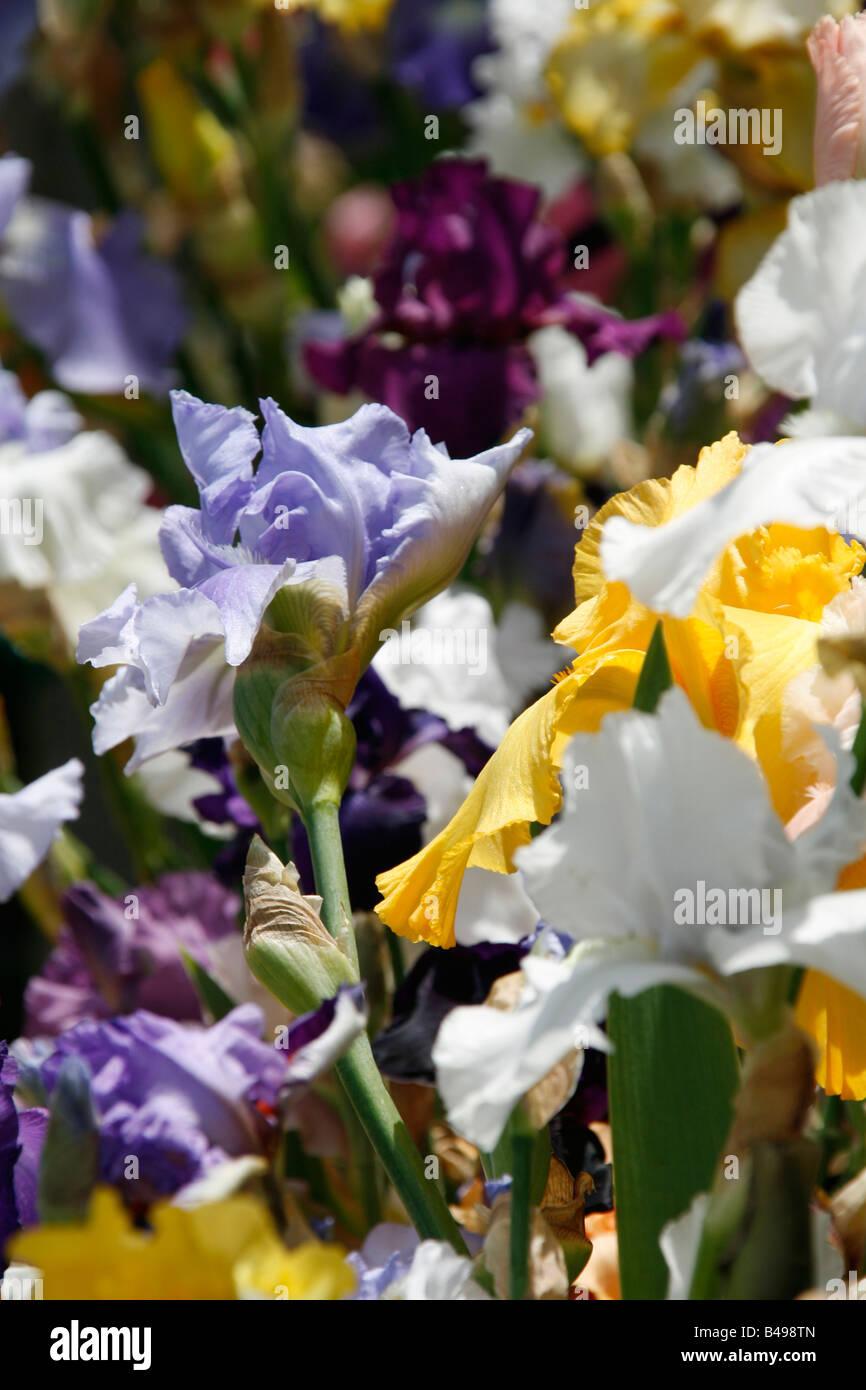 Close Up Of Iris Flowers In Garden Stock Photo 19873525 Alamy