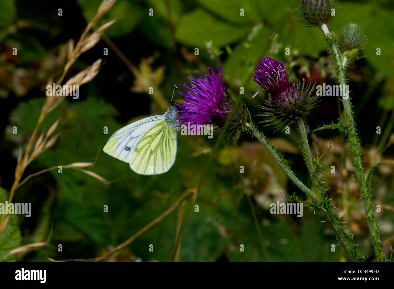 GREEN VEINED  WHITE ON THISTLE - Stock Image