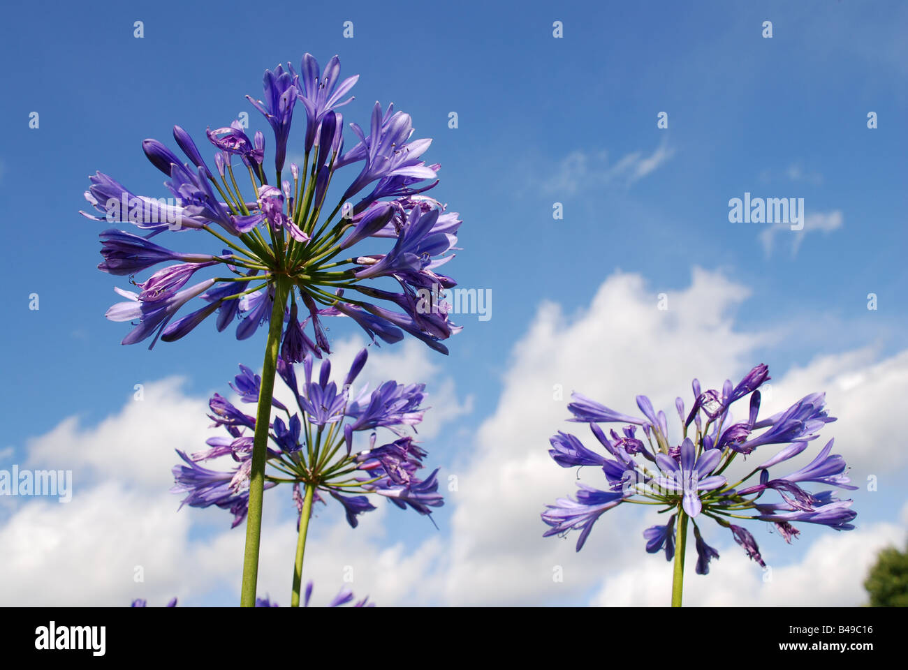 African lily against blue sky Agapanthus praecox - Stock Image