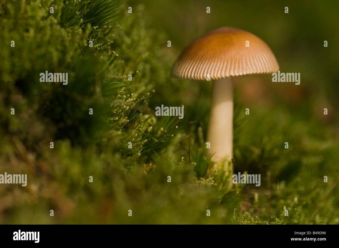 Growing on damp moss on woodland edge Uk. - Stock Image
