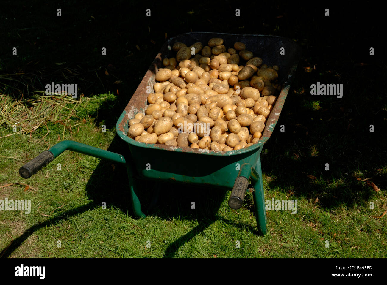 Stock photo of a pile of potatoes in a wheelbarrow The potatoes are ready for storage for Winter - Stock Image