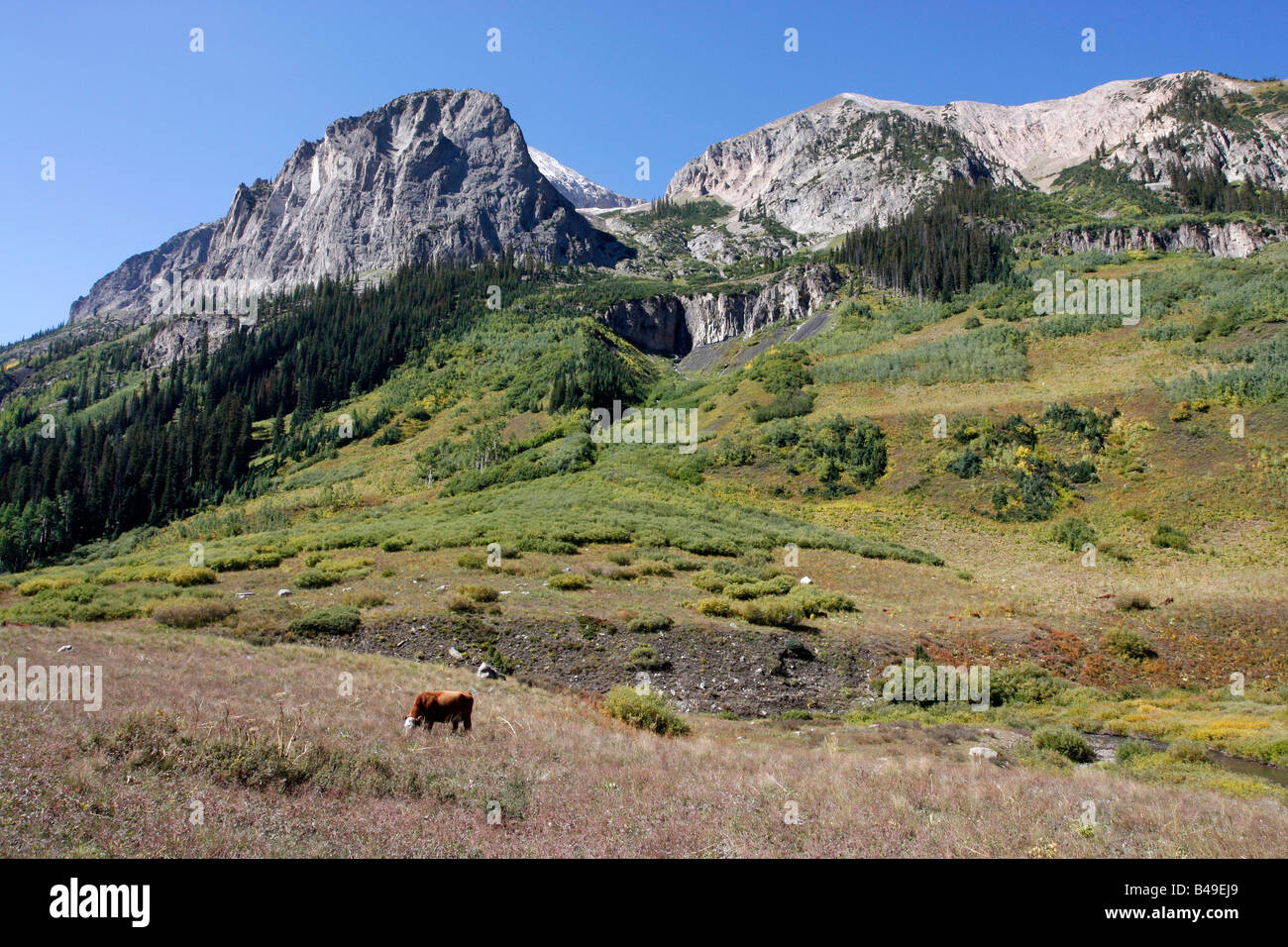 Cattle grazing in the Paradise Divide,Colorado. - Stock Image