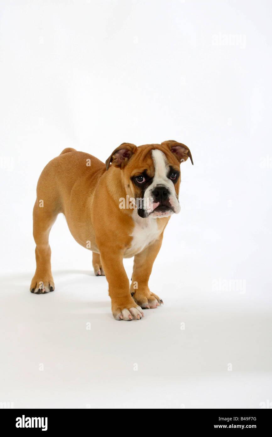 English Bulldog puppy 3 month - Stock Image