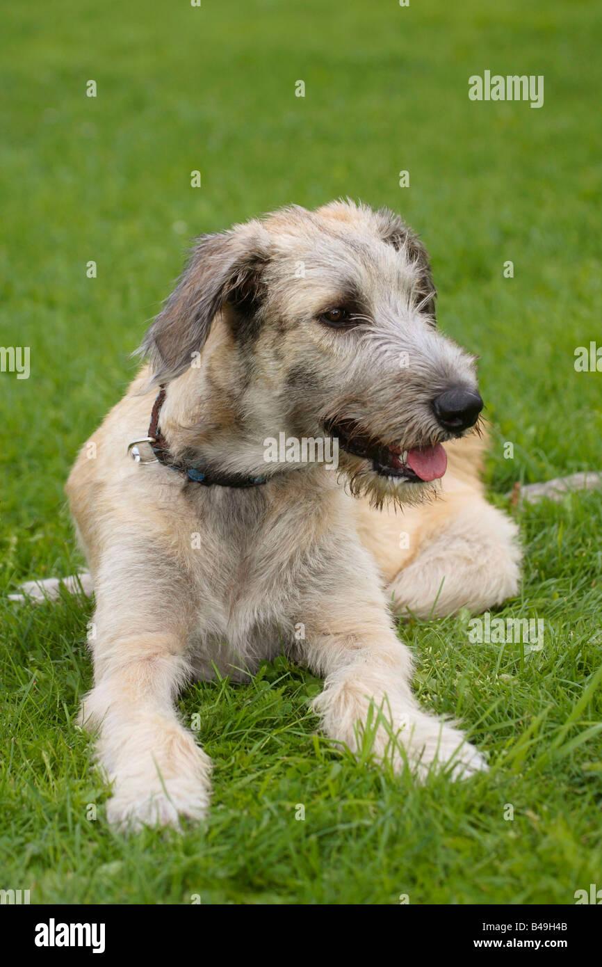 Irish Wolfhound 6 month Stock Photo