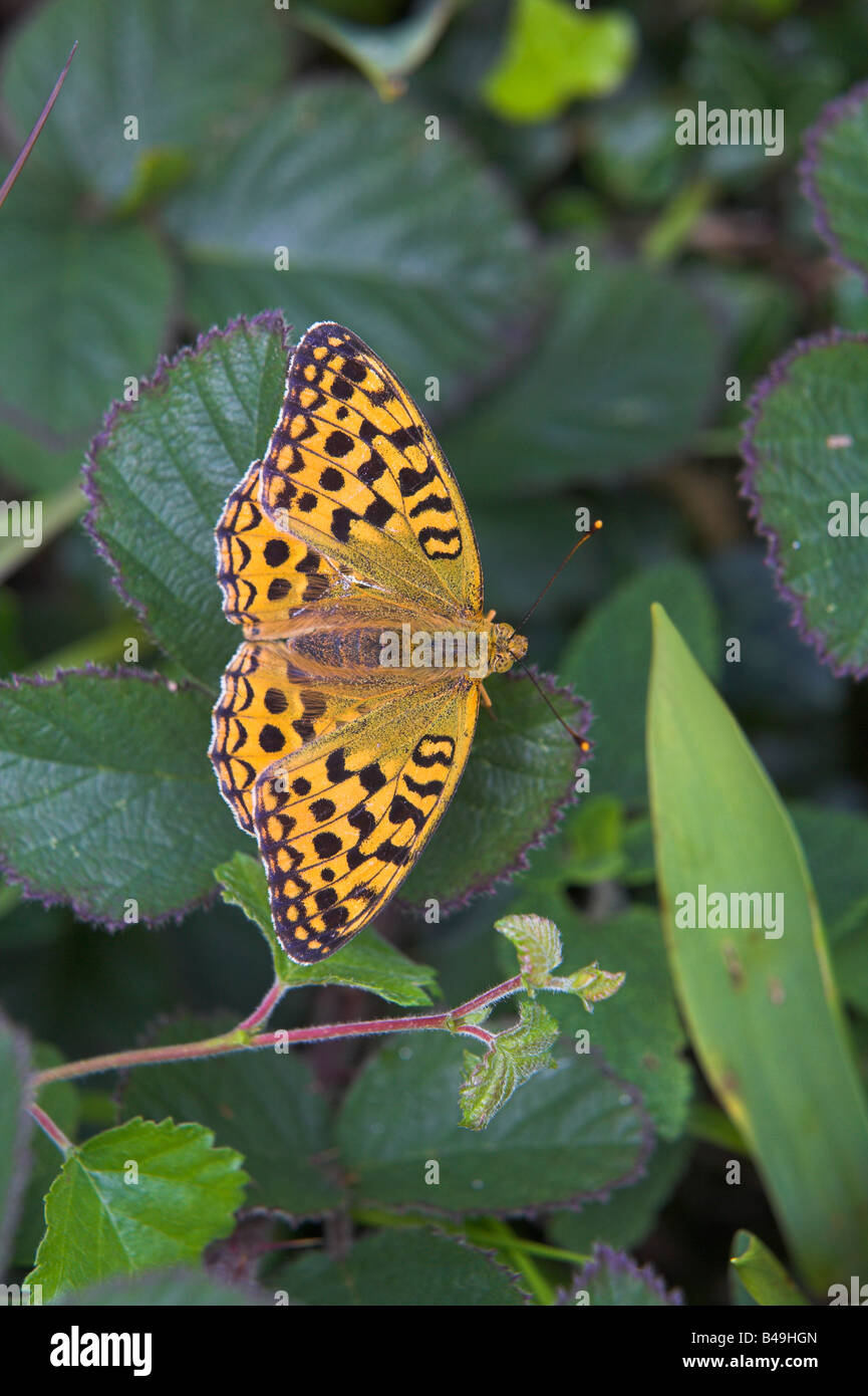 High Brown Fritillary Argynnis adippe perched amongst bramble with wings open at Gait Barrows, Cumbria in July. - Stock Image
