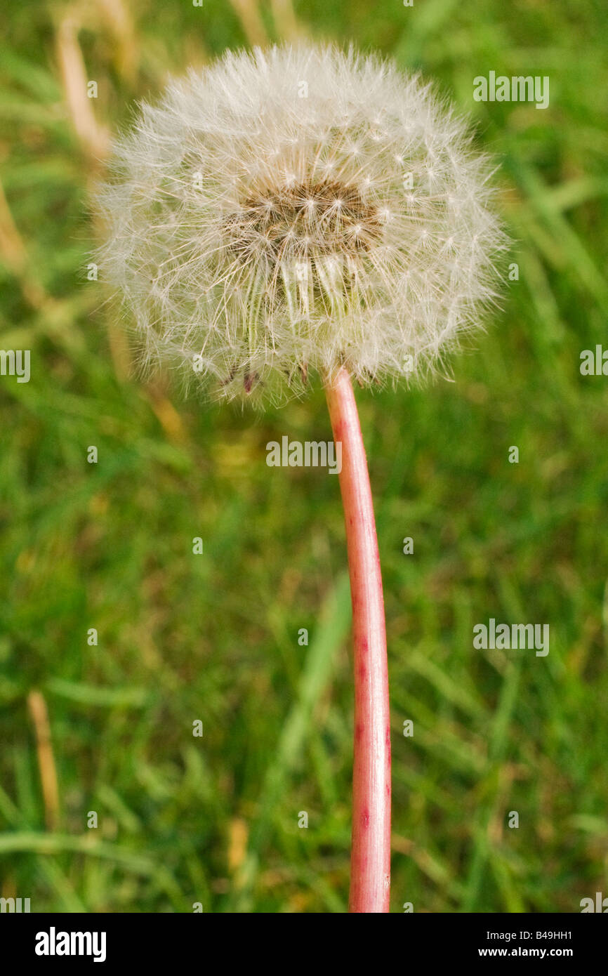 A colour macro portrait photograph of a dandelion. View from the side. Close up (macro) Stock Photo