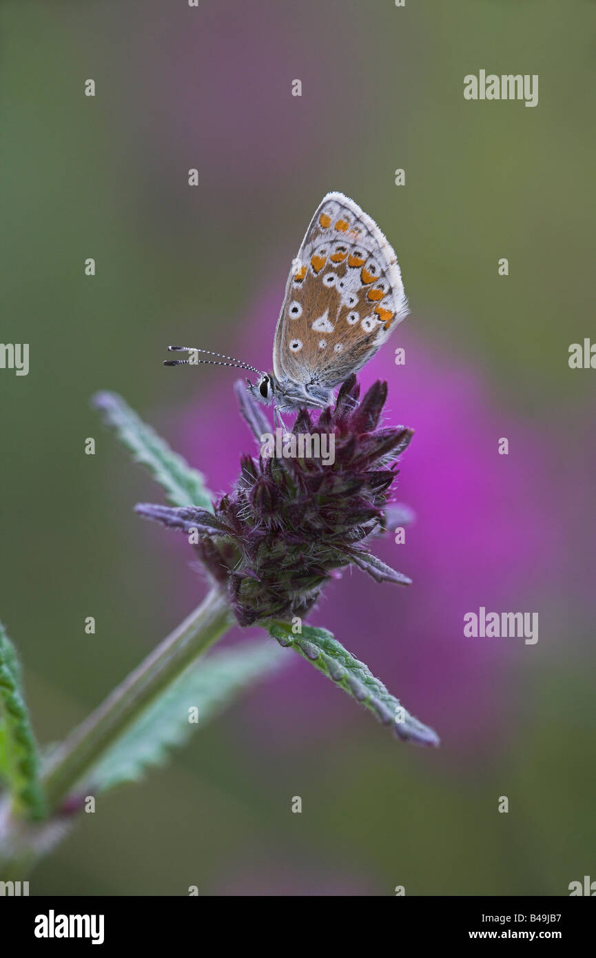 Northern Argus: Aricia Artaxerxes Stock Photos & Aricia Artaxerxes Stock