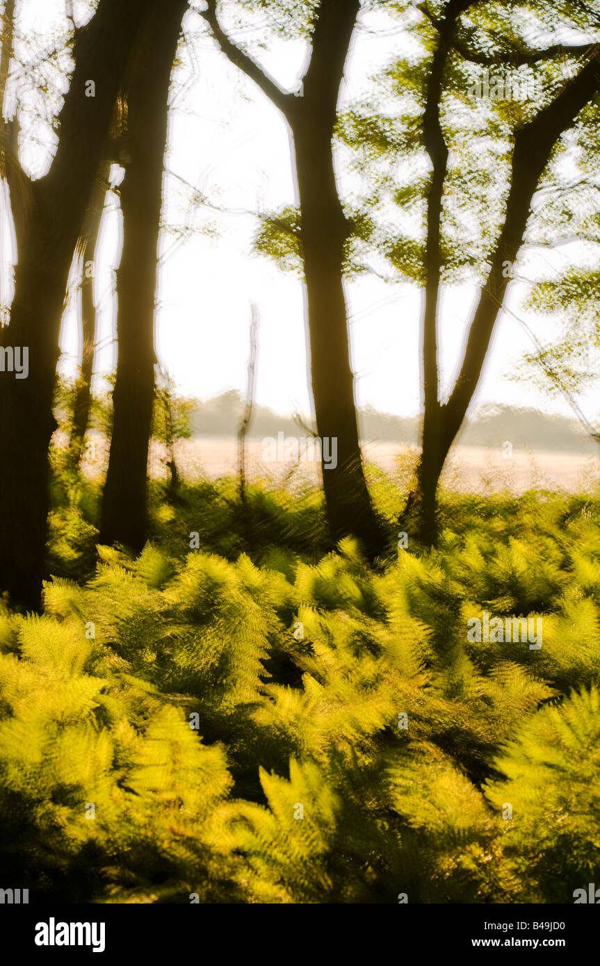 Multiple exposure of late afternoon sunlight shinning through ferns in woodland Lancashire. - Stock Image