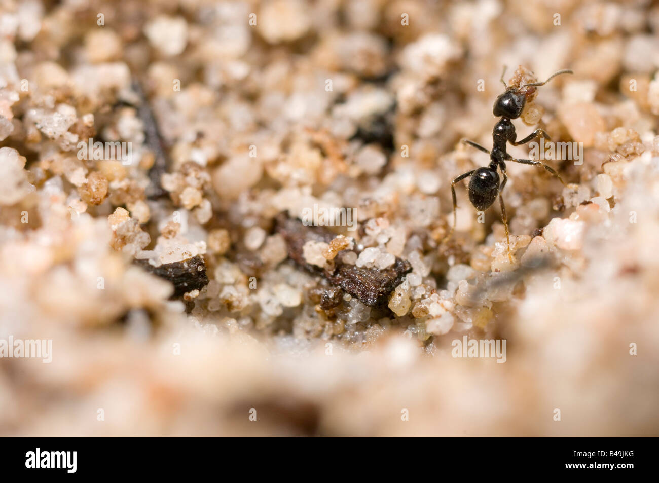 Tiny ant buidling nest grain by grain - Stock Image