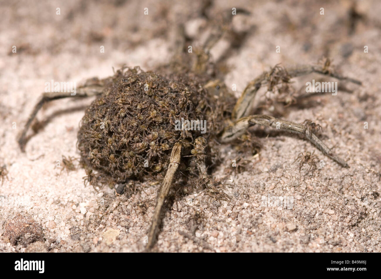 Australian wolf spider female carrying young on her back - Stock Image