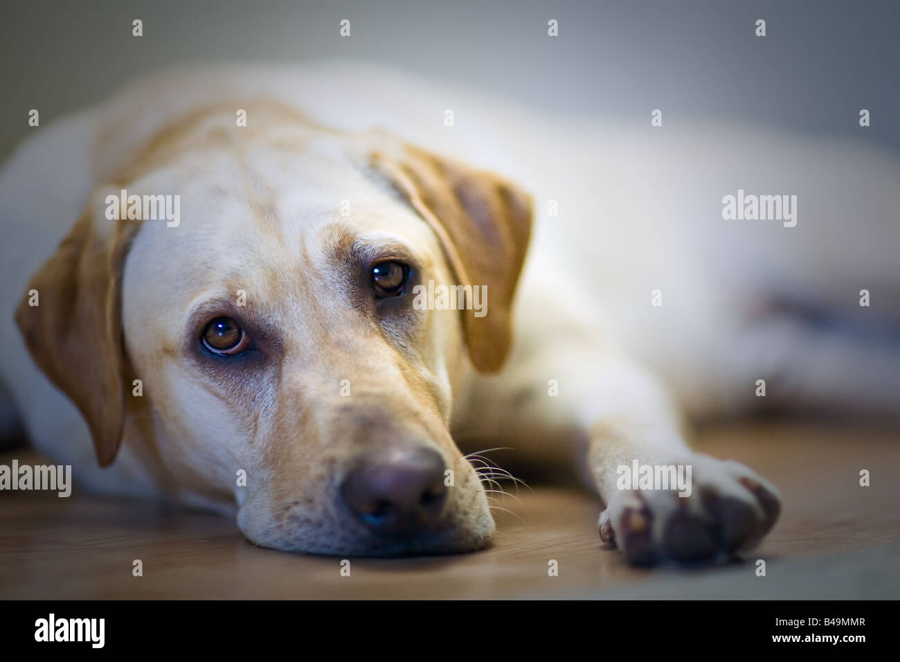 Yellow Labrador Retriever, lying on the floor. - Stock Image