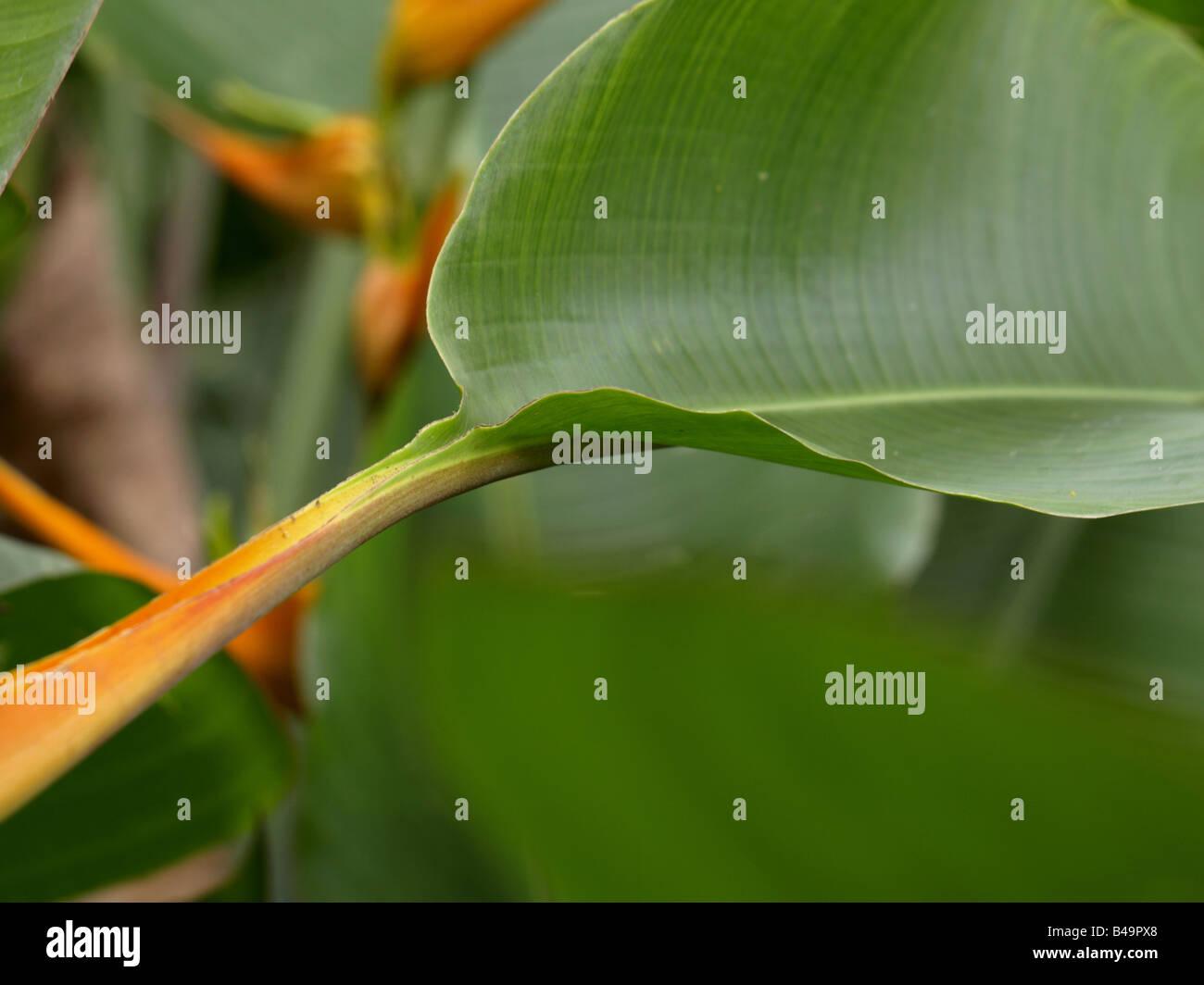 Heliconia latispatha Leaf - Stock Image