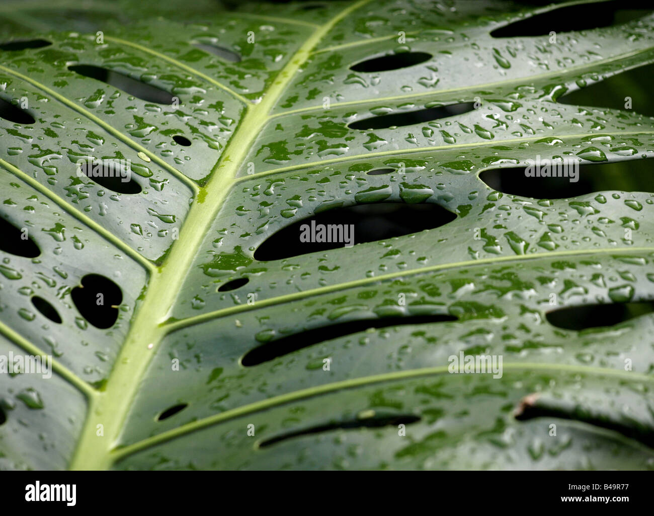 philodendron leaf, Monstera pertusum - Stock Image