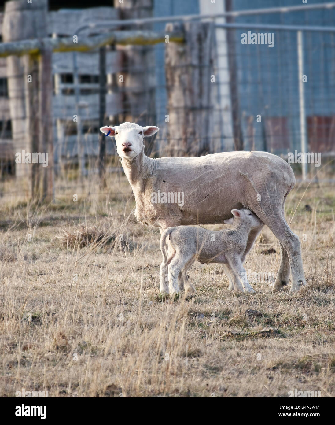 a young lamb getting a drink from its mother - Stock Image