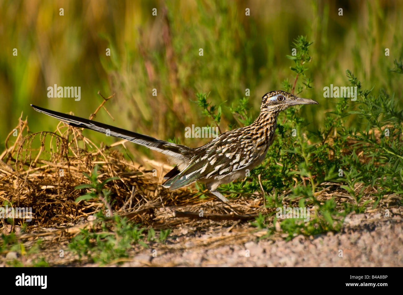 Photo of a Roadrunner Image taken in Bosque del Apache National Wildlife Reserve New Mexico - Stock Image