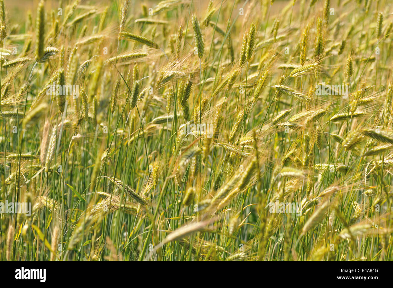 Crops. - Stock Image