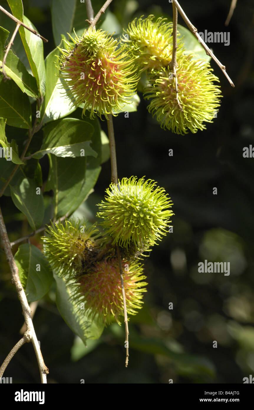 botany, rambutan, (nephelium lappaceum), hairy lychee, nepehlium