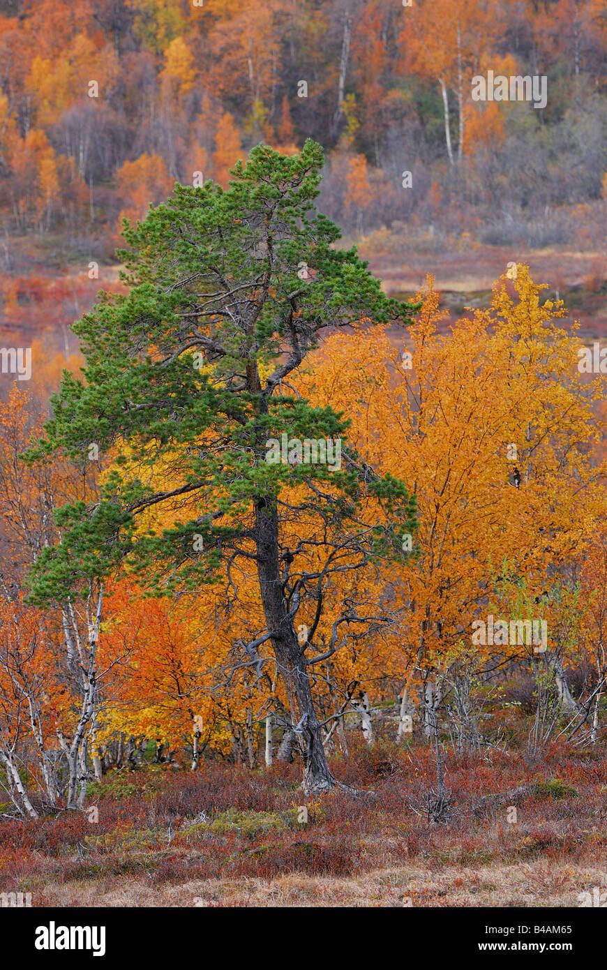 autumn trees in lapland sweden - Stock Image