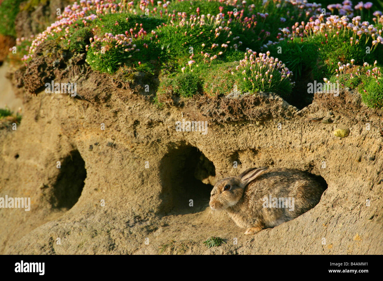 rabbit oryctolagus cuniculus sitting in front of burrow sumburgh