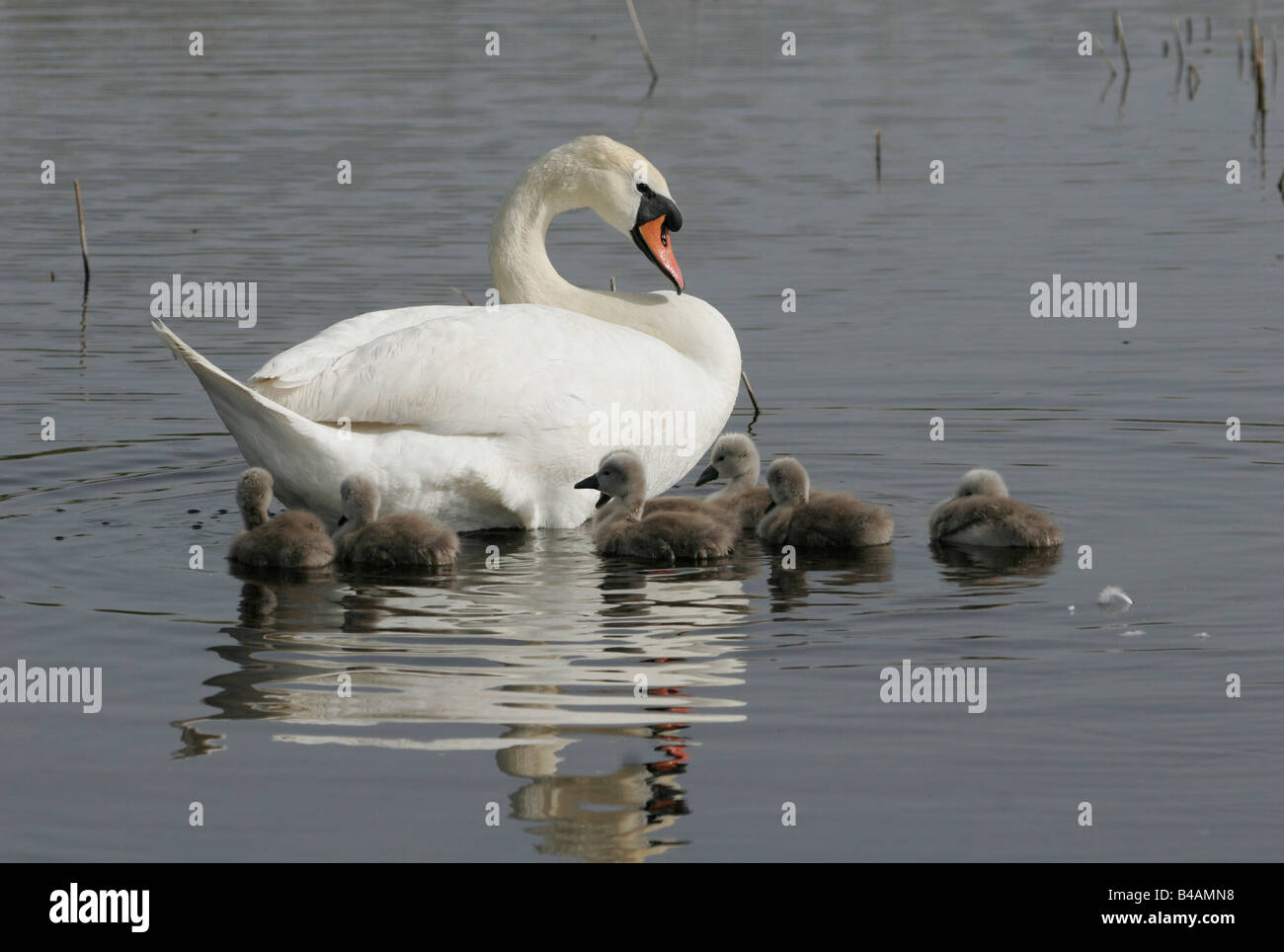 zoology / animals, avian / birds, Mute Swan, (Cygenus olor), swimming in lake with cub, Neusiedler See, Austria, Stock Photo