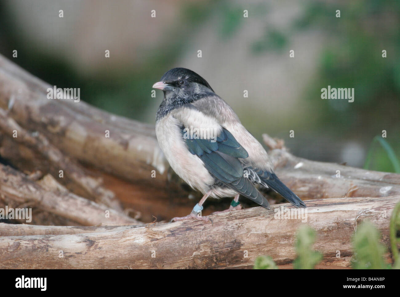zoology / animals, avian / bird, passerine bird, Rosy Starling (Sturnus roseus), sitting on tree trunk, Walsrode, - Stock Image