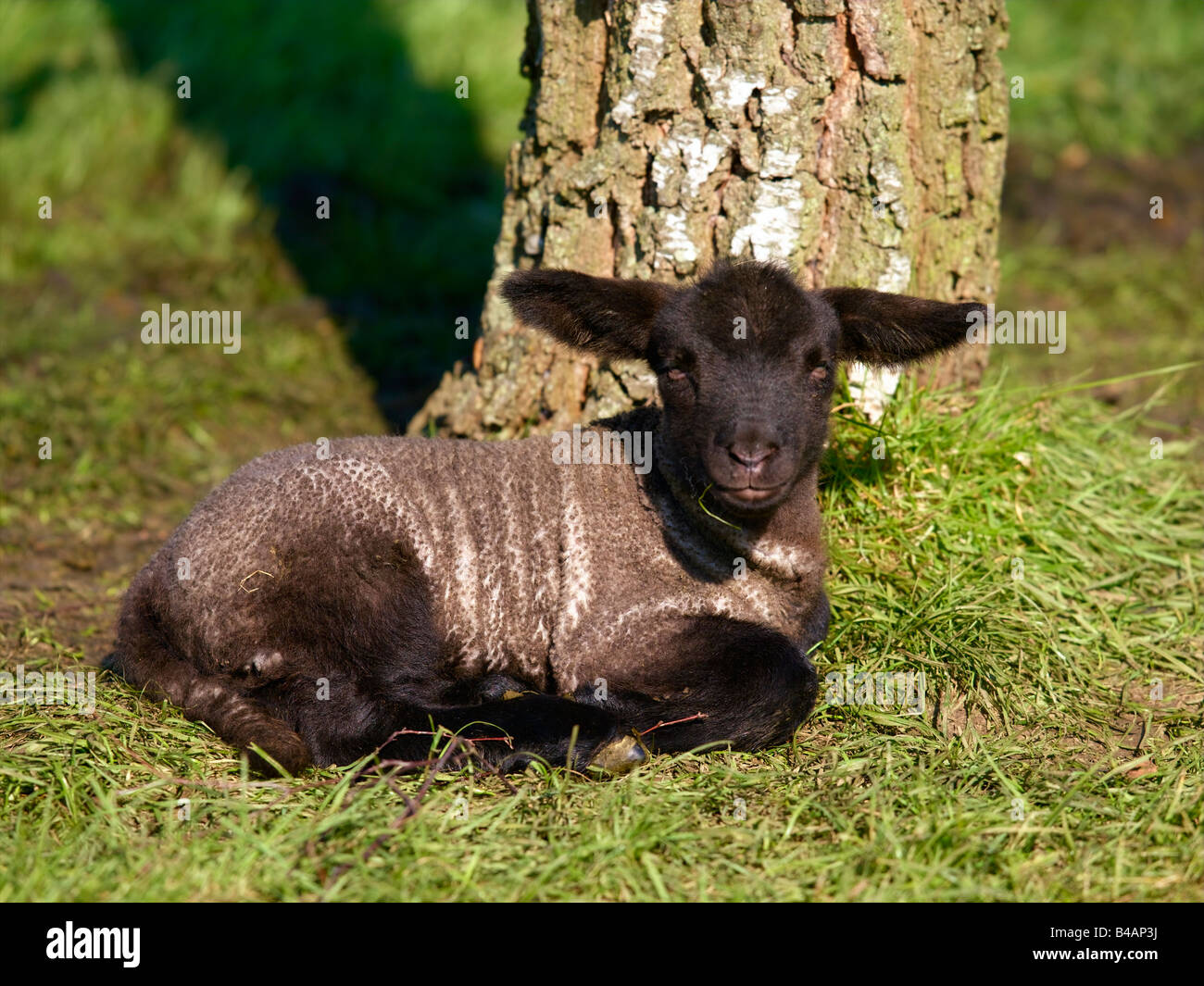 Mammals, Sheep, Lamb - Stock Image