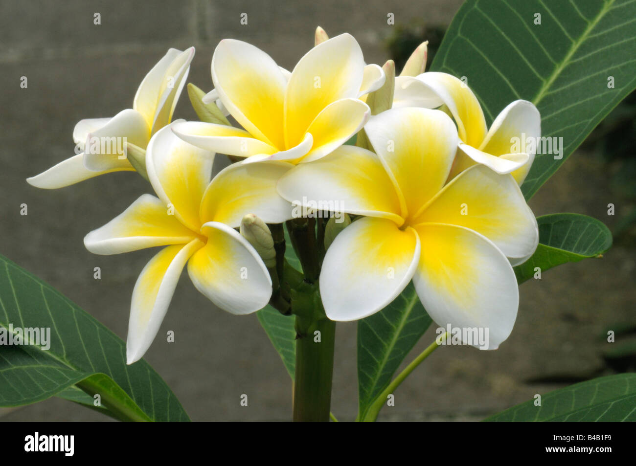White Frangipani West Indian Jasmine Plumeria Alba Flowers Stock