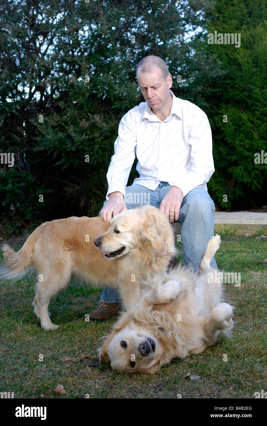 Man playing with his Golden Retriever dogs Stock Photo
