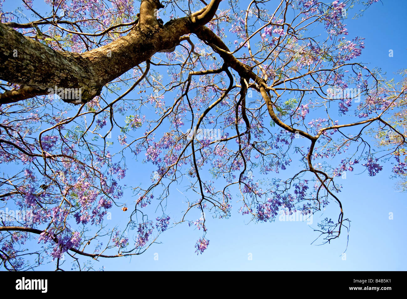 Jacaranda tree stock photos jacaranda tree stock images alamy blue jacaranda in flowers against blue sky stock image izmirmasajfo