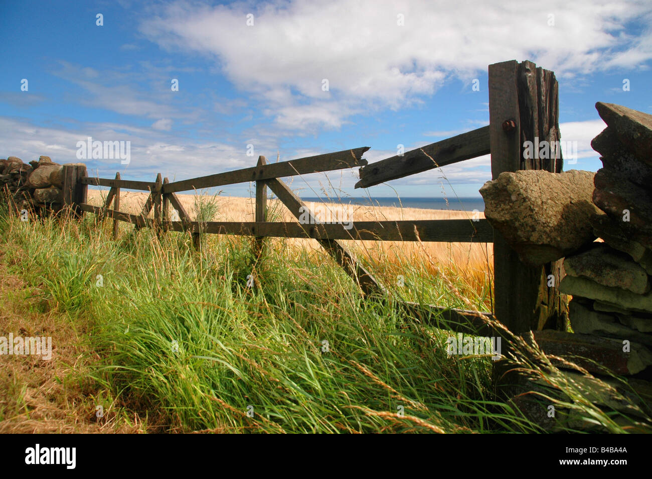 A broken wooden gate at the edge of a field of ripening barley. - Stock Image