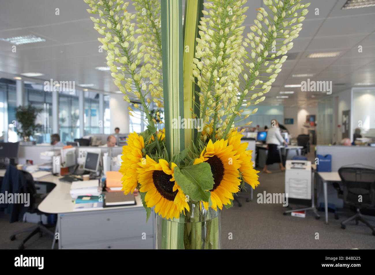 Yellow sunflowers brighten up otherwise drab offices of an auditing company's European headquarters - Stock Image