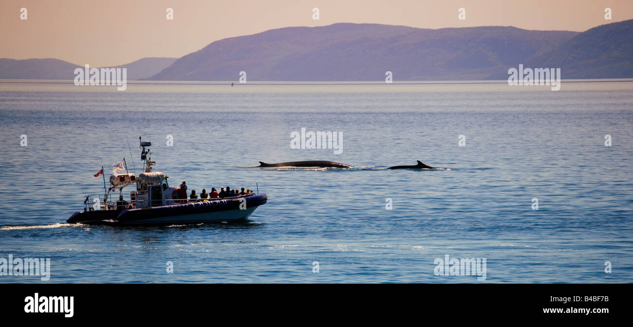 Zodiac Boat on a whale watching trip in Tadoussac following 2 fin whales in Quebec, Canada. - Stock Image