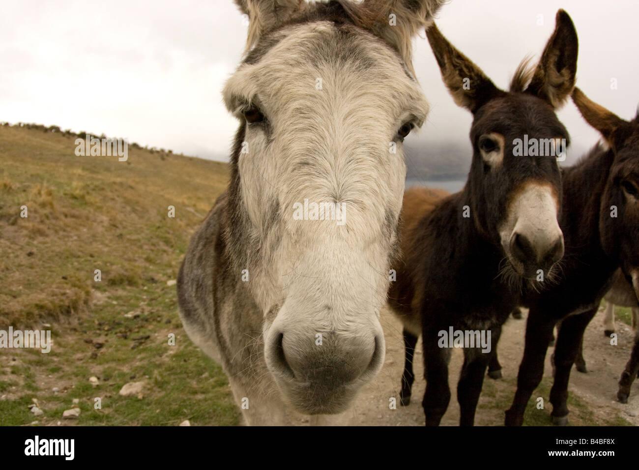Close up portraits of Donkeys expecting food Stock Photo