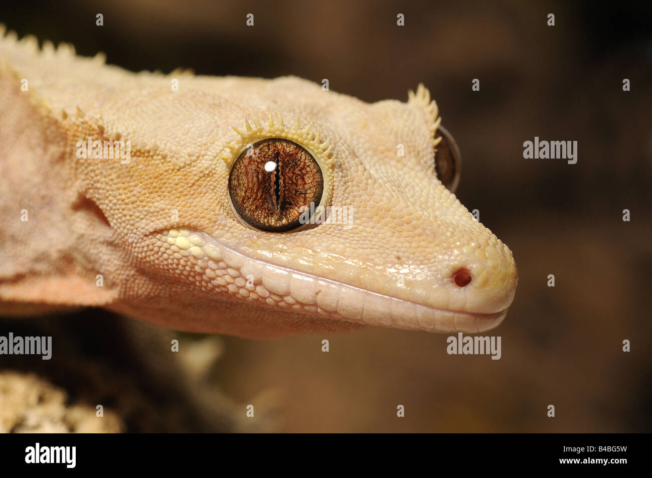 Crested Gecko Rhacodactylus ciliatus native to New Caledonia rediscovered in 1994 captive - Stock Image