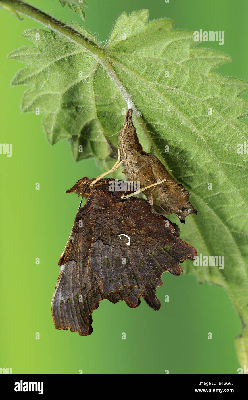 Comma Butterfly Polygonia c album newly emerged adult resting on empty pupal case Oxfordshire UK - Stock Image