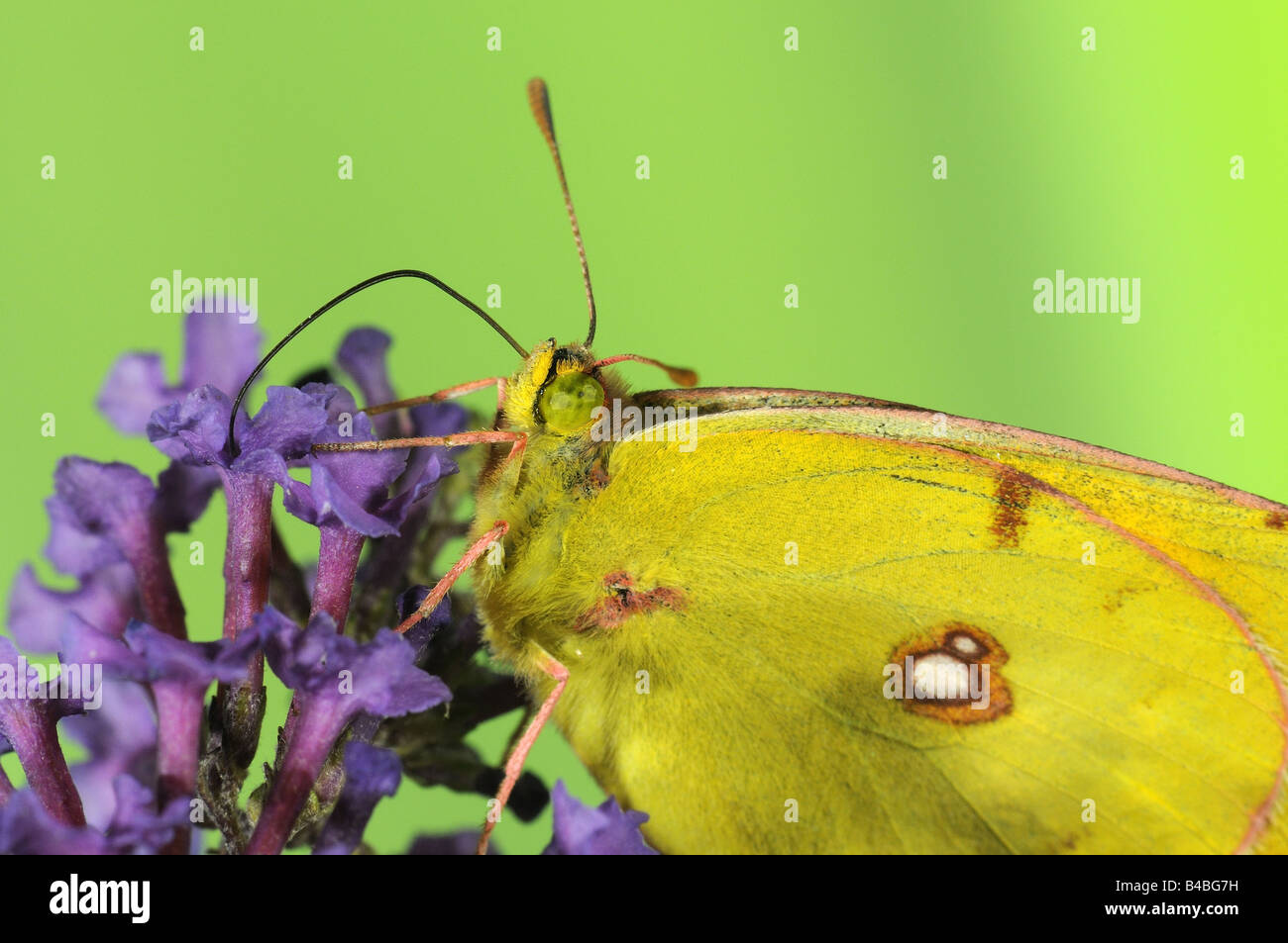 Clouded Yellow Butterfly Colias croceus feeding on Buddleia flower tongue extended - Stock Image