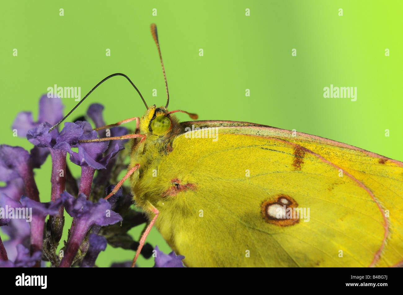 Clouded Yellow Butterfly Colias croceus feeding on Buddleia flowers tongue extended - Stock Image