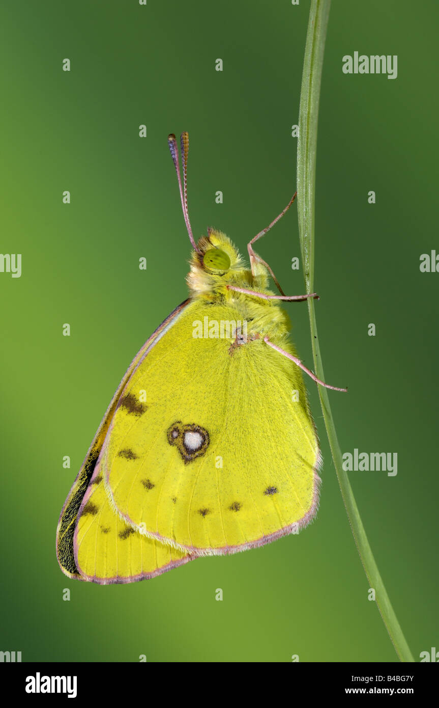 Clouded Yellow Butterfly Colias croceus resting on blade of grass - Stock Image