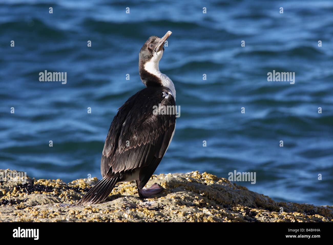 Sea bird at Peninsula Valdez, Patagonia, Argentina. Rock Shag - (Phalacrocorax magellanicus) - Stock Image