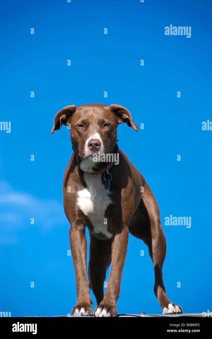 a pitbull stands guead - Stock Image