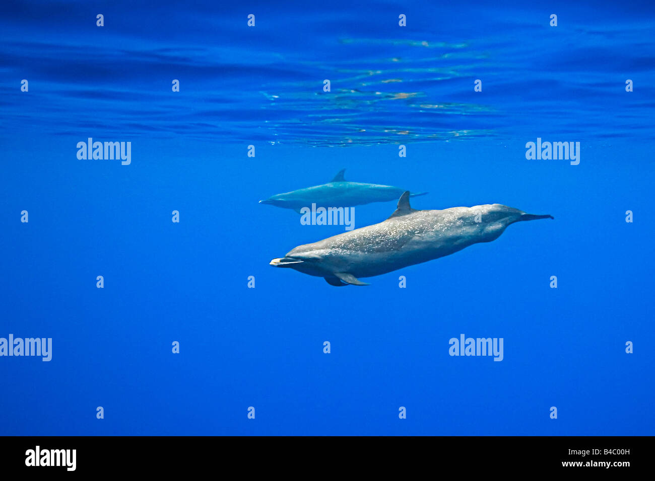 pantropical spotted dolphins, Stenella attenuata, with well developed bulge behind anus characteristic of large - Stock Image