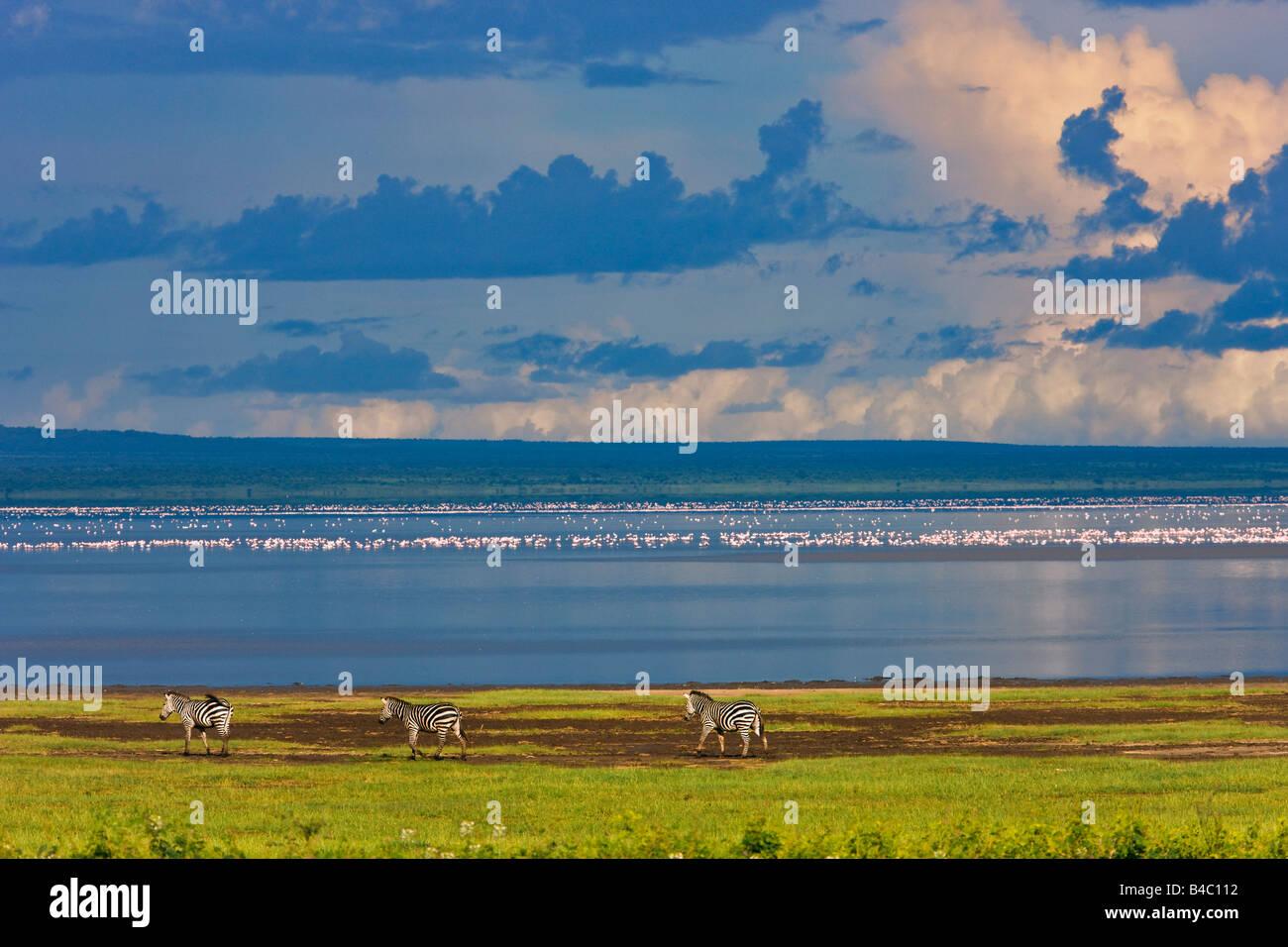 Zebras, Lake Manyara, Tanzania, Africa - Stock Image