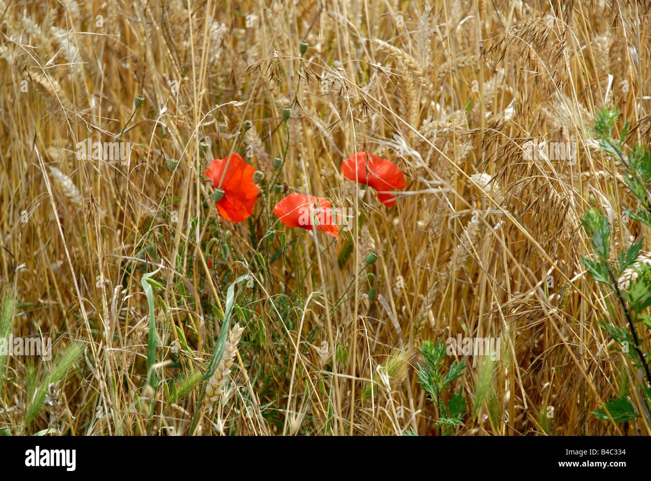 Poppy in wheat field France - Stock Image