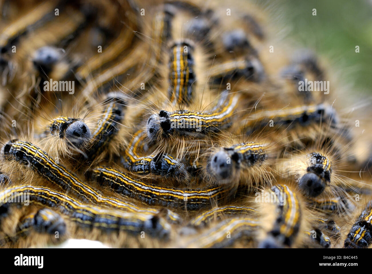 Lackey Moth caterpillars - Stock Image