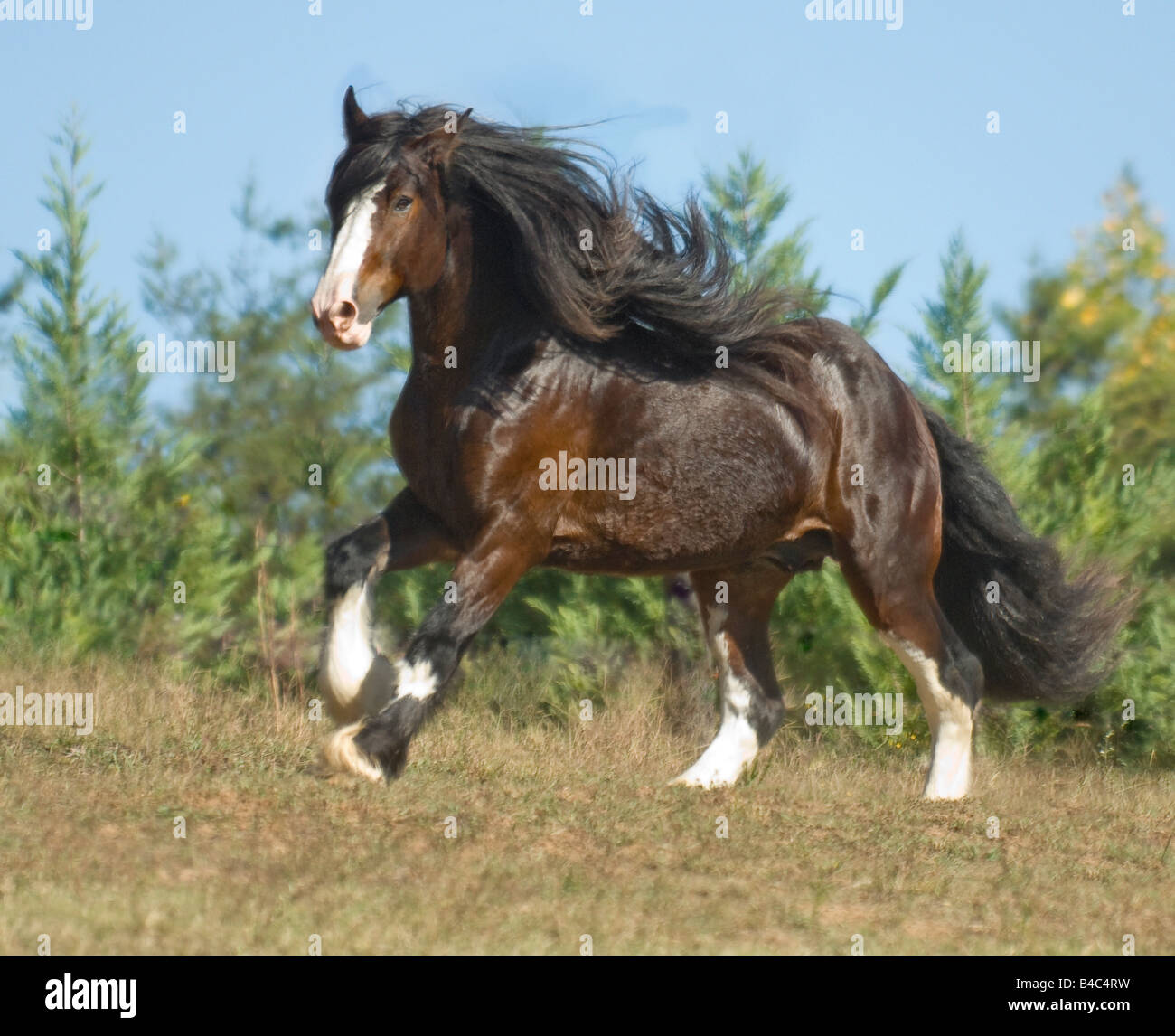 Shire Draft Horse Stallion Stock Photo Alamy